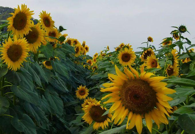 12万本が咲く笠懸のひまわり畑