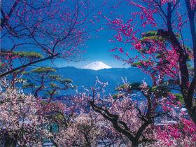 富士山や南アルプスを借景に 山梨「不老園」で贅沢な観梅を