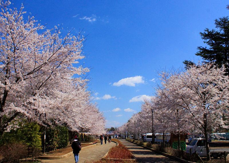 しっとり観賞派もわいわい宴会派もおいで!千葉「清水公園」で桜三昧