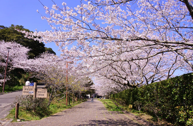 桜の見どころはほかにも