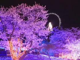 さがみ湖プレジャーフォレスト「夜桜イルミリオン」は感動の幻想空間!