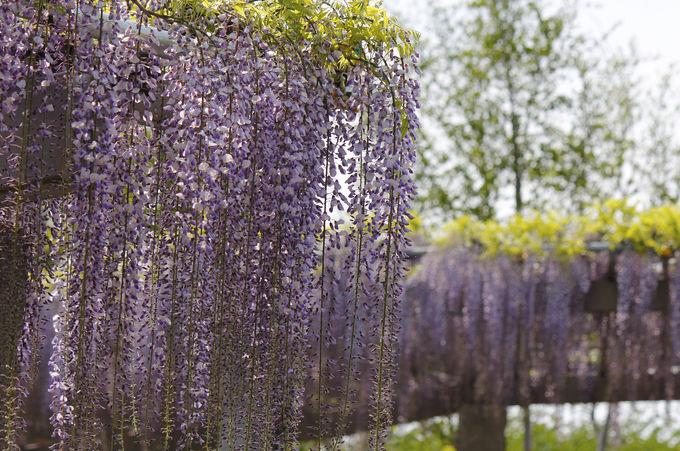 紫のシャワーのような藤棚が美しい