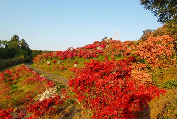 小山の斜面を鮮やかに彩るツツジ