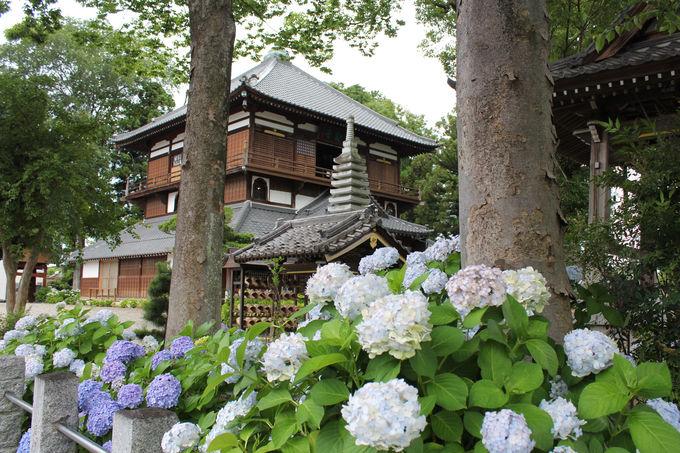 あじさいが彩る初夏の曹源寺