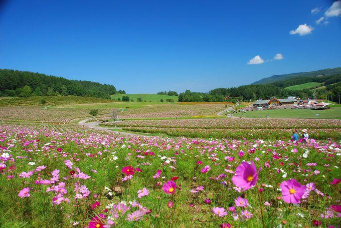 10ヘクタールの畑に1000万本のコスモス!