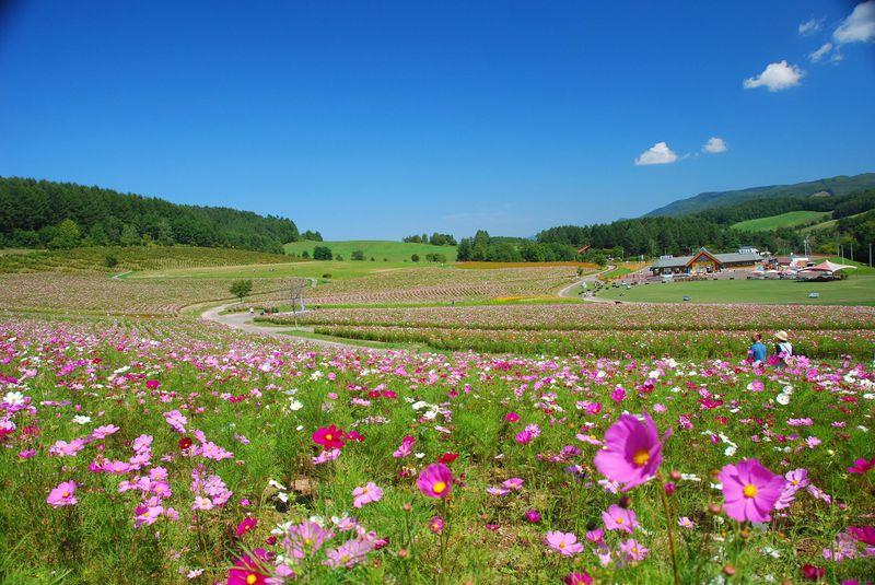 北海道「太陽の丘えんがる公園」はコスモスでいっぱい!