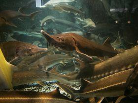北海道「びふか温泉」はチョウザメがおいしい天然温泉!