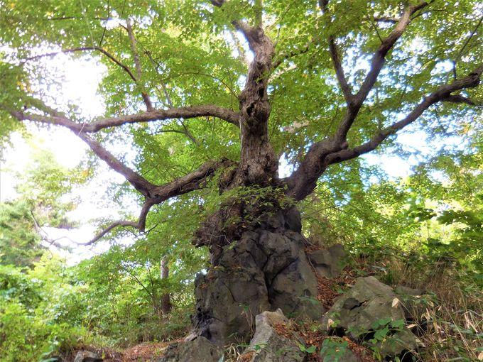 大臼山神社はご神木がパワスポ!溶岩を飲み込んで成長
