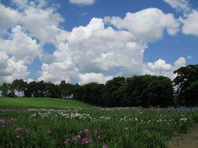 ぶらり札幌 市内散歩 見応えある450種10万株の花菖蒲