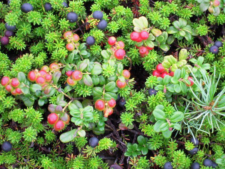 高原のお花畑 大雪山国立公園 旭岳中腹 姿見ノ池で可憐な高山植物を楽しもう