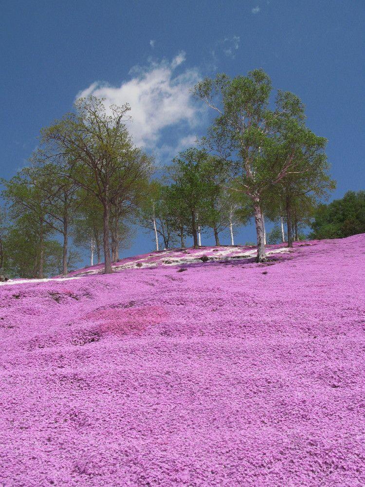 ピンクに染まる丘「ひがしもこと芝桜公園」
