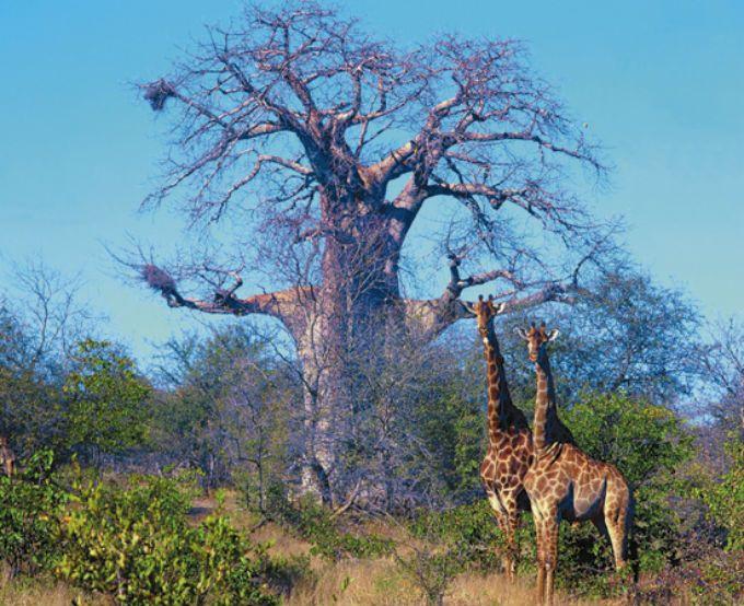 南アフリカが誇るサファリのメッカ『クルーガー国立公園』