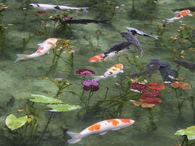 まるで絵画!美しすぎる「モネの池」は岐阜の新名所