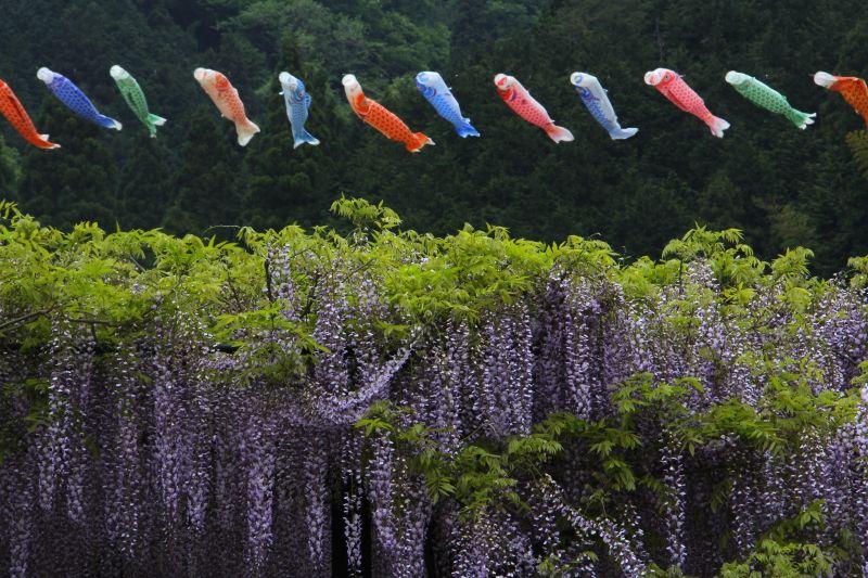 藤の咲く5月上旬には鯉のぼりが雄大に泳ぐ