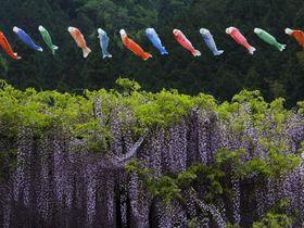 兵庫の大町藤公園は鯉のぼりも泳ぐ藤に彩られた公園