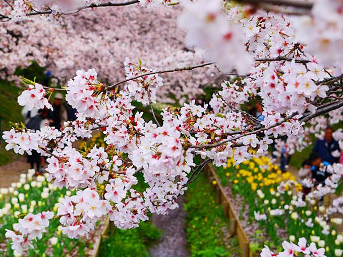 奇跡のコラボは運しだい!横浜「江川せせらぎ緑道」桜とチューリップ