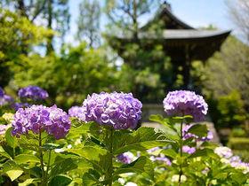 癒しのパワースポット!横浜のあじさい寺「正覚寺」