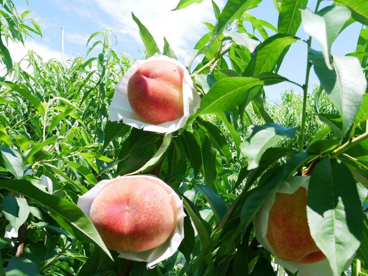 旬のフルーツや野菜を収穫体験