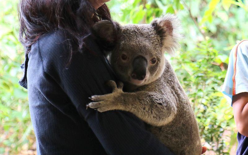 オーストラリアでコアラを抱っこ! ゴールドコーストの動物園カランビン