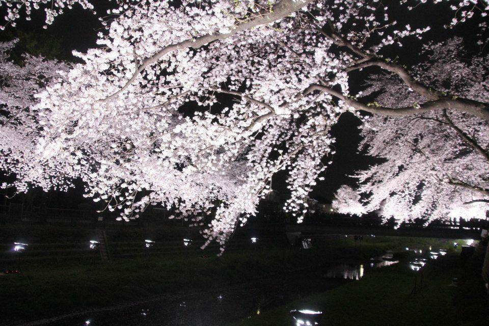 調布・野川の夜桜ライトアップは桜満開の一夜限りの開催