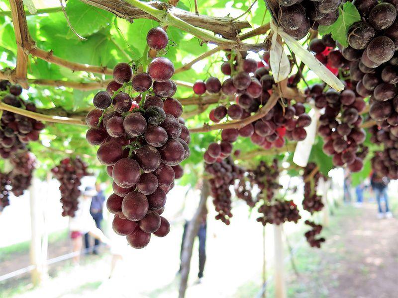 カオヤイ最大のぶどう畑!「PBVALLYワイナリー」はタイ産ワイン発祥の地