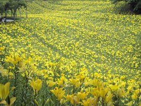 一面に咲き誇るカラフルなゆり・ユリ・百合!静岡県 可睡ゆりの園