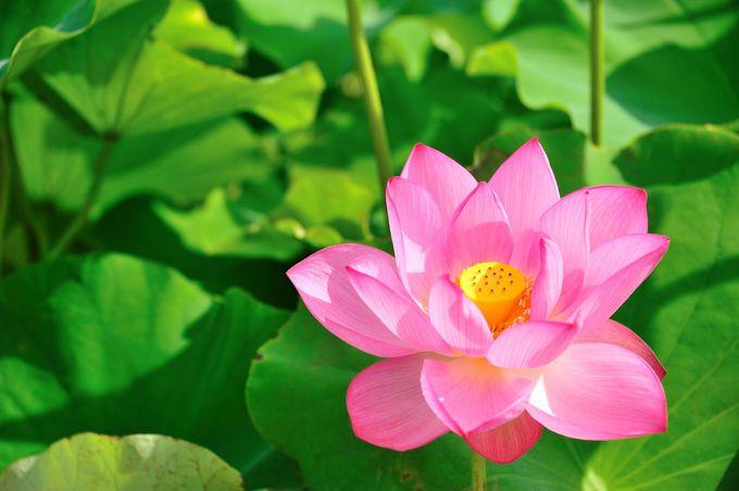 古代蓮の可憐な花