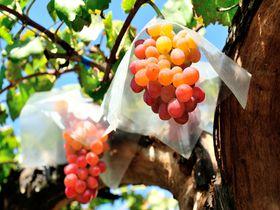 ぶどうの収穫日本一! ぶどうと風景両方味わう 山梨県勝沼のぶどう狩り