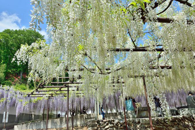白い花が咲く藤の木