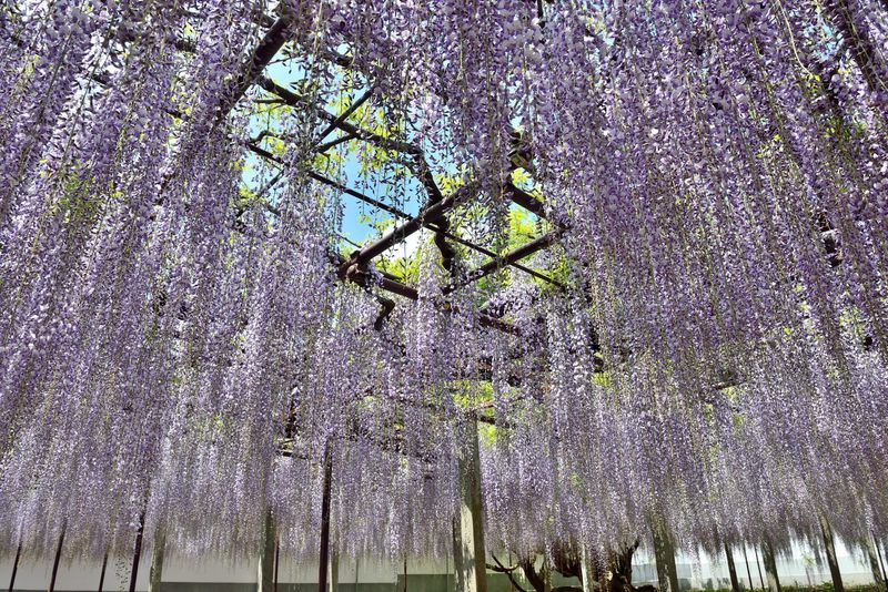 樹齢650年!骨波田の藤 巨木に咲く花はまるで紫の雨 埼玉県本庄市 長泉寺