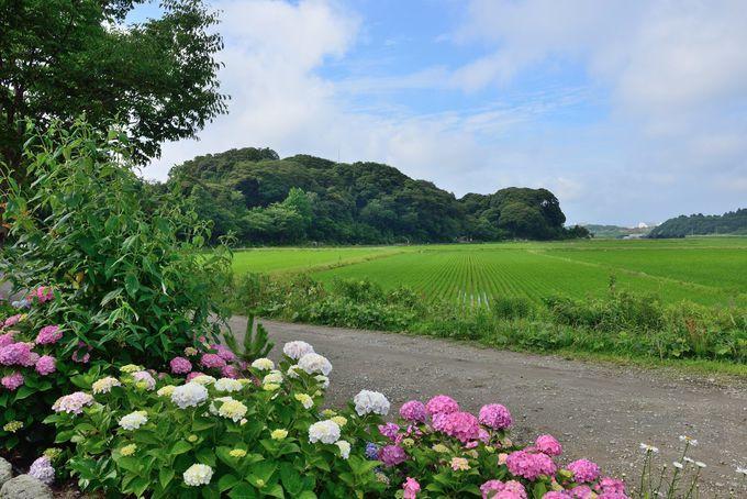 あじさいと緑の田圃が織りなす見事な風景
