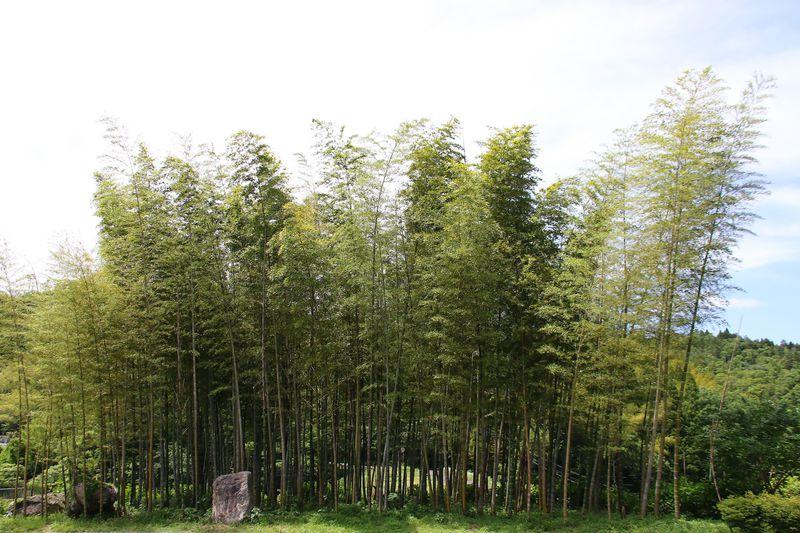 200種類の竹と笹!鳥取県八頭町の癒しスポット「竹林公園」