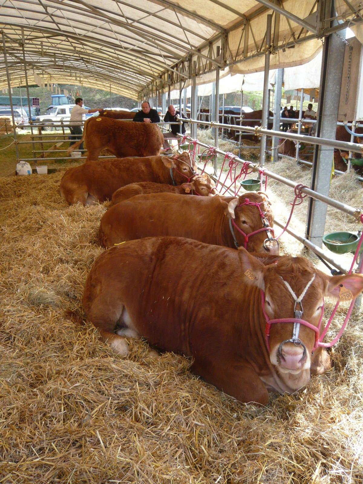 圧巻の牛たち、可愛いヤギや羊、珍品種のハトまで勢ぞろい