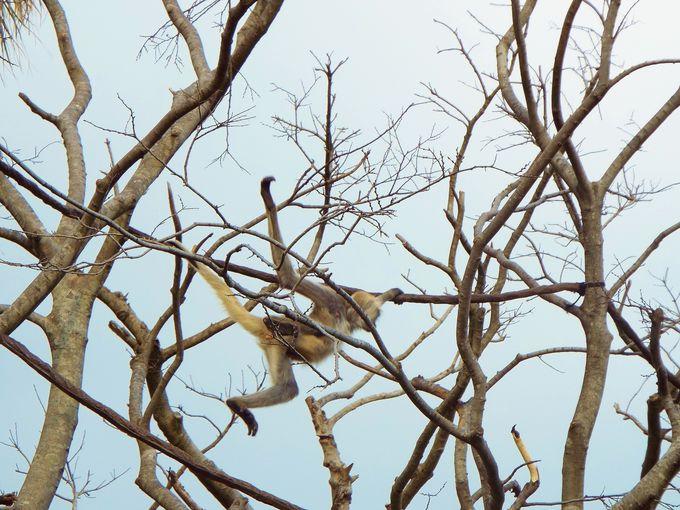 木から木へ移動するサルは迫力あり!
