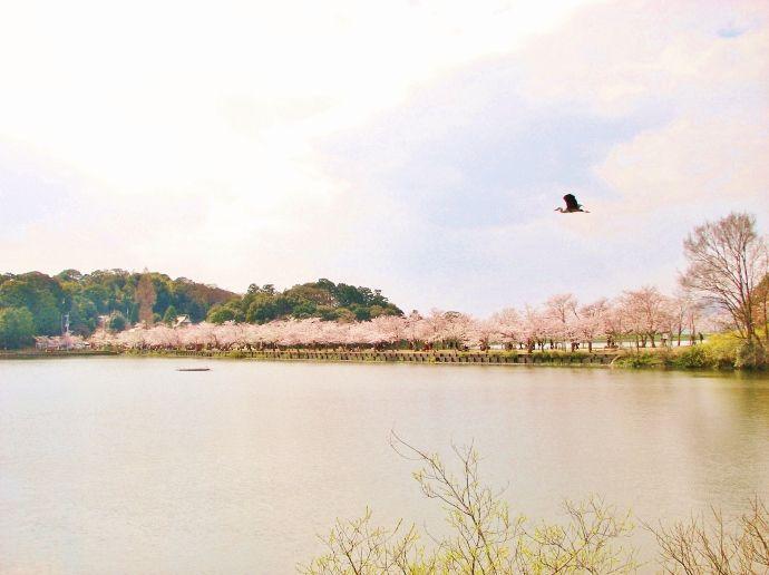 """まるで""""桜の橋立""""!香川「亀鶴公園」は池の中に桜の道が"""