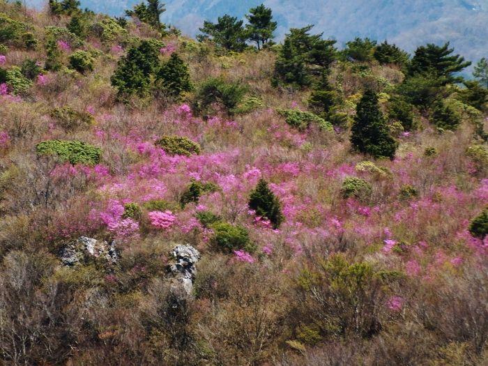 ミツバツツジの群落と山容に登頂欲は倍増