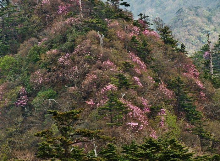 アケボノツツジに染まる山々