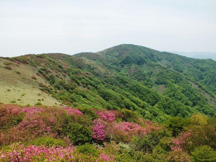 笠取山への尾根はピンクに染まる
