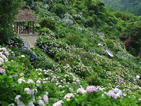 愛媛屈指の山間の紫陽花名所「あじさいの里」