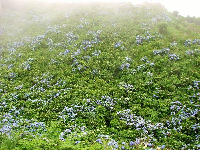 紫陽花のビロード