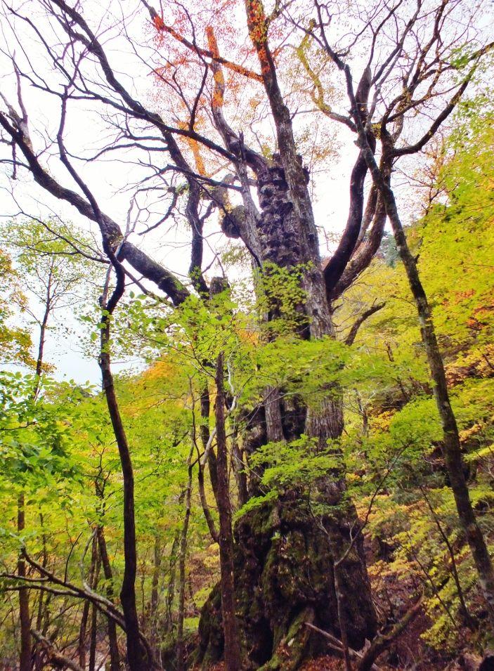 白骨林の立つ広大な美しい笹原