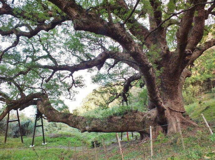 ラストシーンは枝が大木化した巨樹前