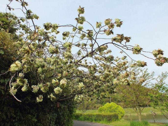 気品ある緑色の桜