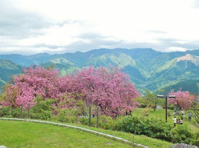 パノラマ高原で「天空の花見」を