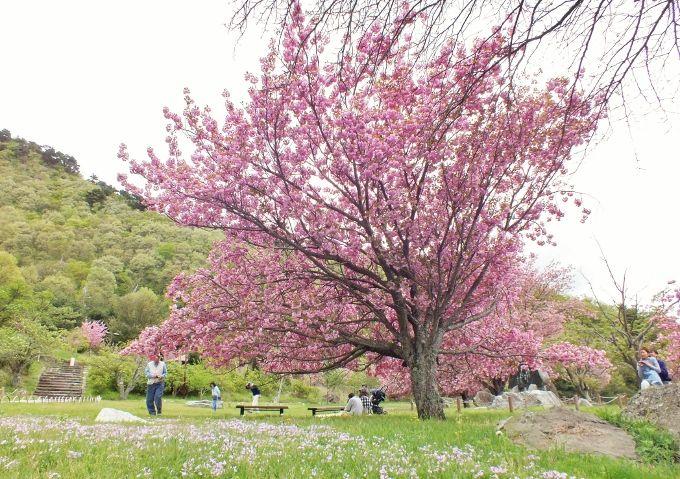 本格花見の前に滝見と芝桜を