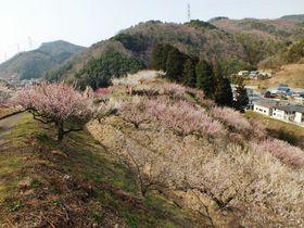目と舌で梅を堪能〜2万本の梅が咲く徳島・美郷〜