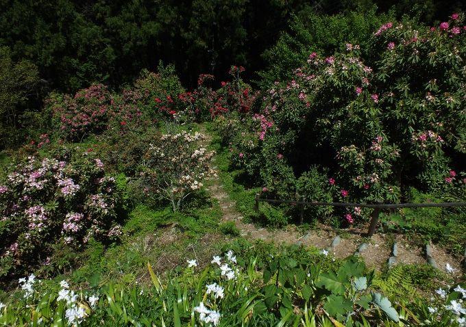 四国屈指のシャクナゲ園・徳島のローディーの森とツツジの絶景・志貴岳