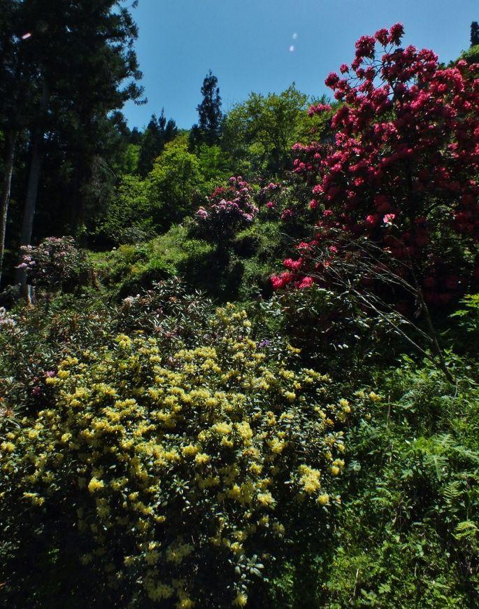 緑に映える原色のシャクナゲ群・ローディーの森