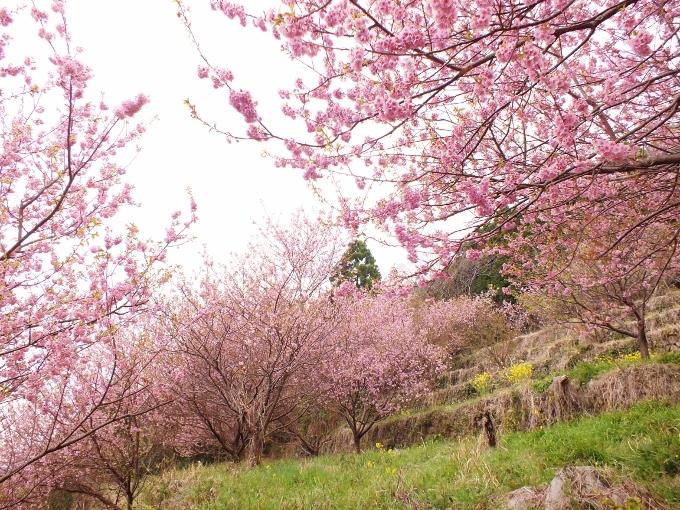 地域住民が3本から増やした桑田山の雪割り桜