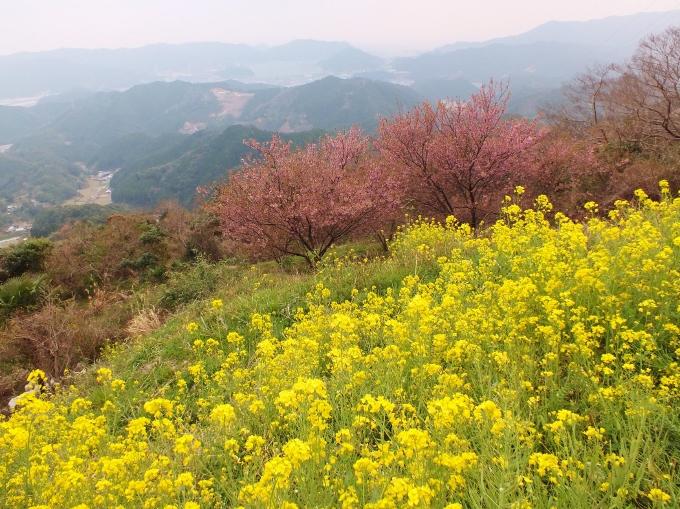 絵になる菜の花のイエローと桜のピンク